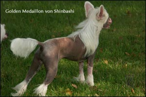 chinese crested dog Golden Medaillon von Shinbashi