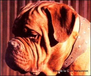 dogue de bordeaux, french mastiff Borg de la Gaie Maisonnee