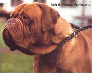 dogue de bordeaux, french mastiff Fakir du Hameau Puplingeois