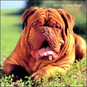 dogue de bordeaux, french mastiff Rano de l'Aube Rouge