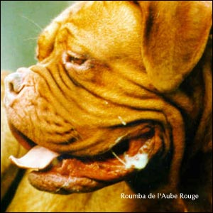 dogue de bordeaux, french mastiff Roumba de l'Aube Rouge
