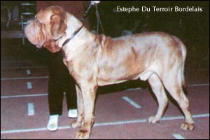 dogue de bordeaux, french mastiff Estephe Du Terroir Bordelais