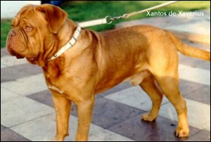 dogue de bordeaux, french mastiff Xantos du Xaverius