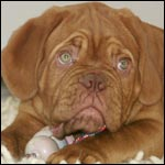 dogue de bordeaux pup