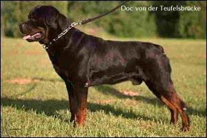ротвейлер Doc von der Teufelsbr252;cke
